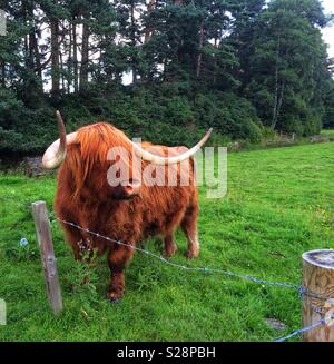 Highland Cow in Scotland - Stock Photo