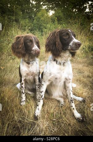 Two English Springer Spaniels, mother and daughter, relaxing after a walk. - Stock Photo