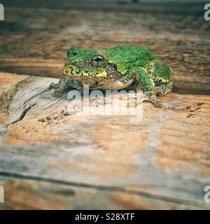 Grey Treefrog on wooden deck looking at camera - Stock Photo