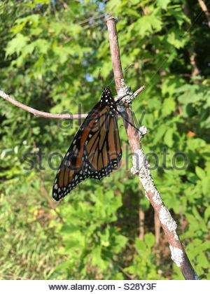 Monarch Butterfly resting on tree branch in Northern Michigan. - Stock Photo