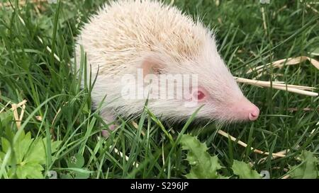 Hedgehog. Rare, wild, European albino hedgehog with white spines and pink eyes. Erinaceus europaeus.  This is a wild hedgehog. Not a domesticated pet and is very rare in the UK - Stock Photo