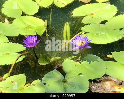 Purple water lilies growing in a pond. - Stock Photo