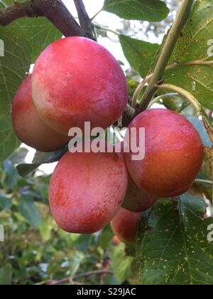 Ripe Victoria plums on a tree in Yorkshire, England, United Kingdom - Stock Photo