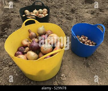 Freshly picked onions - Stock Photo