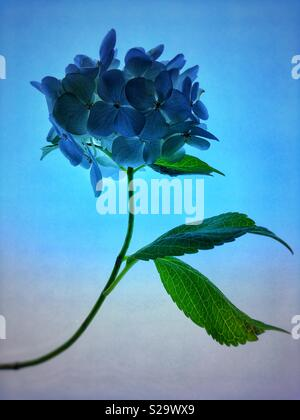 Hydrangea flower with stem and leaves against a plain background - Stock Photo
