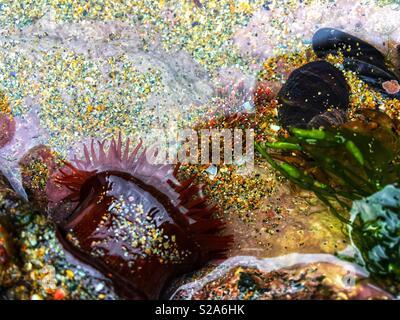 Sea anemone in a rock pool - Stock Photo