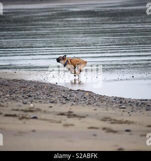 French bulldog running down the beach - Stock Photo