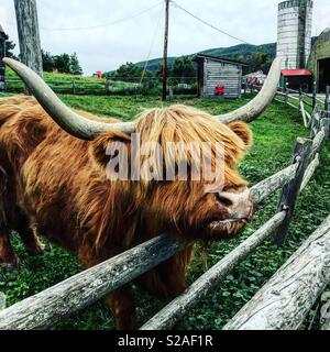 Highland Cattle in a petting zoo at Indian Ladder Farms in Upstate New York