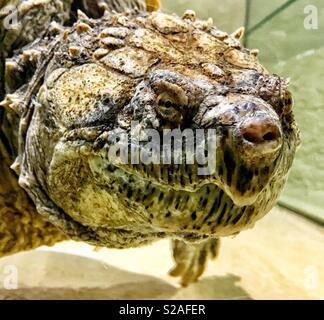 Florida Snapping Turtle closeup - Stock Photo