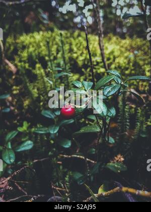 A wild lingonberry growing in the forest in Finland - Stock Photo