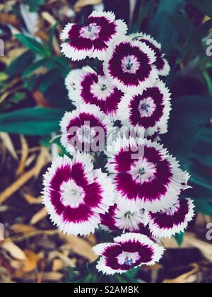 Sweet William flowers, dianthus barbatus - Stock Photo
