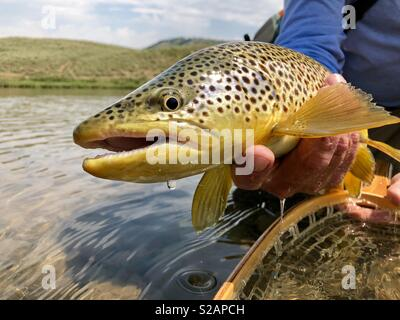 Brown Trout dripping water after being caught on the Upper Green River near Pinedale Wyoming. The Green River offers amazing fly fishing in July. - Stock Photo