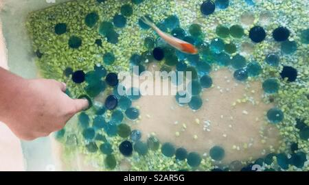 Young boy putting his finger in the fish aquarium - brightly colored rocks and pebbles, green, blue and yellow- orange and white koi fish - Stock Photo
