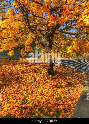 Beautiful autumn colors on a tree and leaves on the ground on a sunny day. - Stock Photo