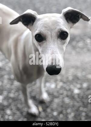 Cute Whippet dog portrait - Stock Photo