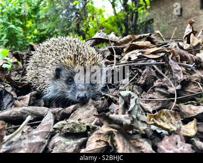 Cute hedgehog faceing with camera, leaf litter - Stock Photo