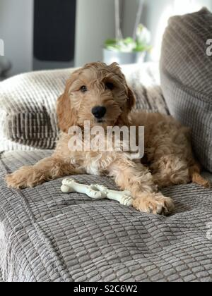 Cockapoo puppy - Stock Photo