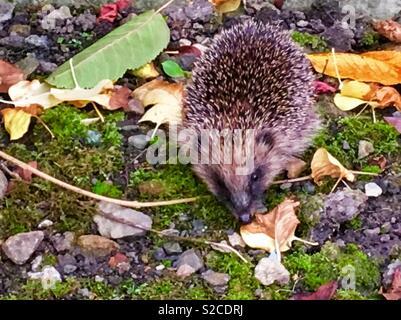 Found this little hedgehog in my garden. - Stock Photo