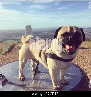George the pug on top of the Wrekin in Shropshire - Stock Photo