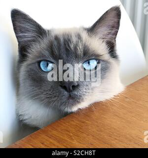 Hungry Blue Eyes Ragdoll Cat waiting for his lunch at the table - Stock Photo