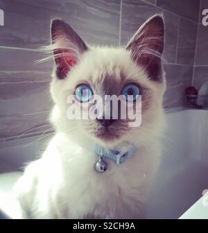 Shocked Blue Eyed Fluffy white ragdoll kitten - Stock Photo