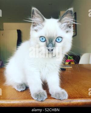 Beautiful blue eyed white fur Ragdoll kitten stares at camera - Stock Photo