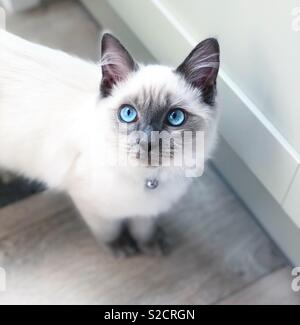 Sweet blue eyed Ragdoll kitten with white fur looking up at owner stood in kitchen, cat in kitchen - Stock Photo