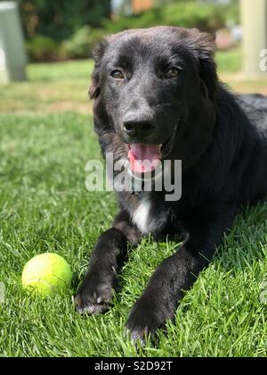 Puppy playing fetch with tennis ball - Stock Photo