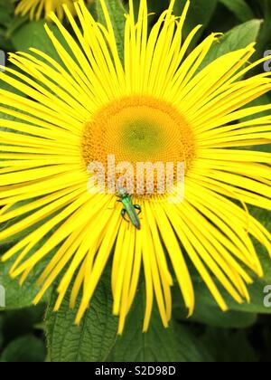 Green insect on Inula magnifica flower - Stock Photo