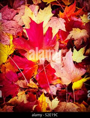 Red and gold maple leafs on the ground in autumn. Stock Photo