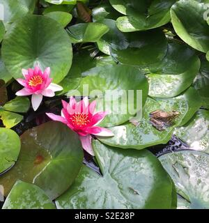 Two water lilies and a frog in a pond. Nature in summer - Stock Photo