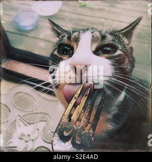 Tabby & white family cat licking his fork clean - Stock Photo