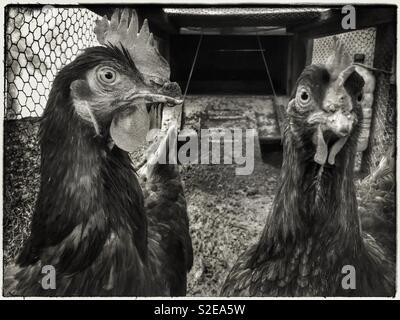 Crazy chickens, Catalonia, Spain. - Stock Photo