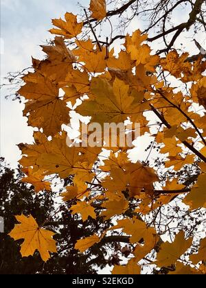 Autumn leaves glowing in the wintery sun. Surrey countryside - Stock Photo