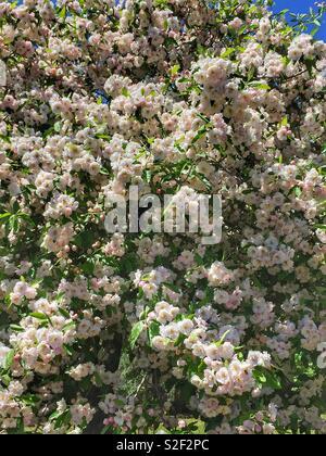 Crab-apple blossom in spring, Leura, Blue Mountains, NSW, Australia - Stock Photo