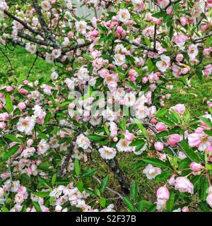 Spring blossom in Leura, Blue Mountains, NSW, Australia - Stock Photo