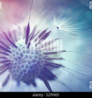 the magic dandelion flower in the garden - Stock Photo