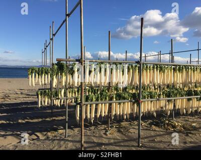 Daikon or Japanese radish line the shore of Miura coast in winter. They are being dried to make hoshi daikon (dried radish) or kiriboshi daikon (dried radish strips). - Stock Photo