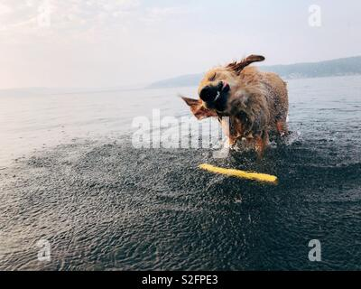 Dog shaking at the beach - Stock Photo