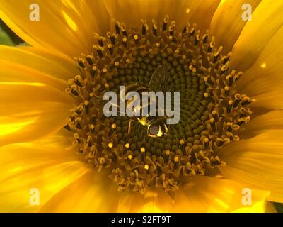 A bumble bee on a sunflower in the sun - Stock Photo