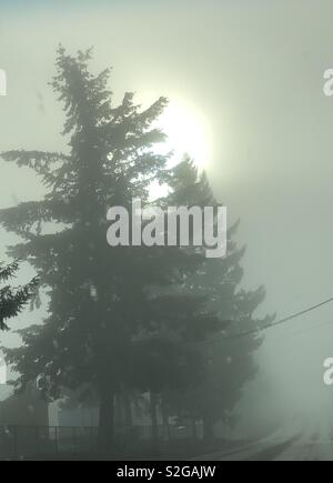 Dense fog hiding the sun but not an Evergreen tree - Stock Photo