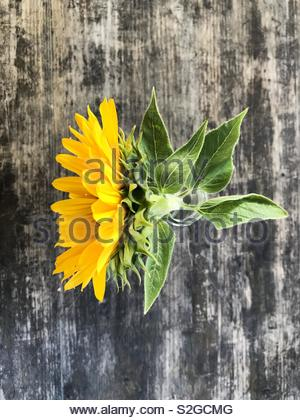 Sunflower flower with green leaves in the glass vase on the shabby wooden table. Closeup photo of a sunflower, view from above - Stock Photo