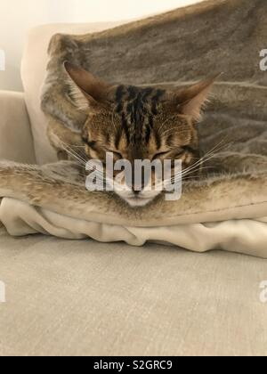 Sleepy Bengal kitten - Stock Photo