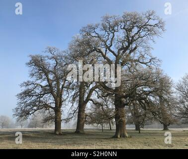 Magnificent group of three centenarian Oaks in ancient Oxfordshire parkland captured after a hard air frost with intense blue sky and clearing fog (mood number two). - Stock Photo