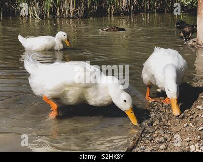 Heavy white Pekin Ducks searching for food in shallow water - Stock Photo