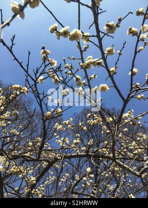 White plum blossoms and blue sky - Stock Photo