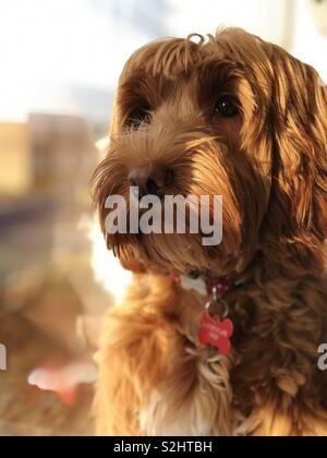 Cute cockapoo puppy in front of window