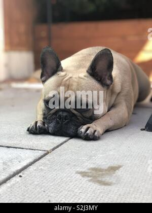 Sad French Bulldog because nobody wants to play with her - Stock Photo