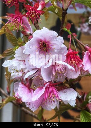 Pink cherry blossoms with raindrops