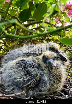 Pigeon chicks in their nest - Stock Photo